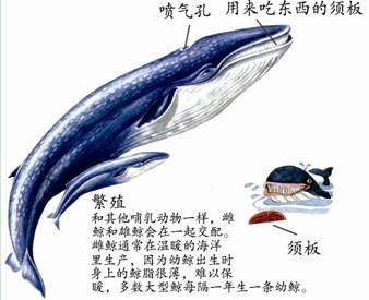 我,就是鼎鼎有名的蓝鲸,是世界上最大的动物.