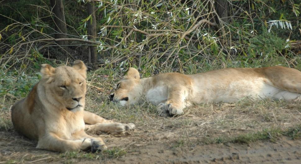 狮子平时便会长时间地躺下来睡觉,它们每天约睡20个小时.